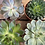Thumbnail: Succulents