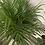Thumbnail: Cat Palm