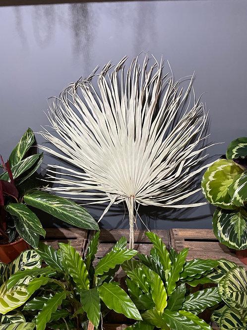 Dried Fan Palm