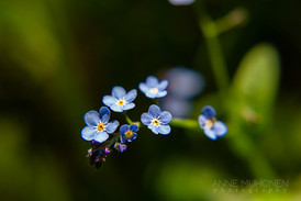 """""""Forget-me-not"""""""