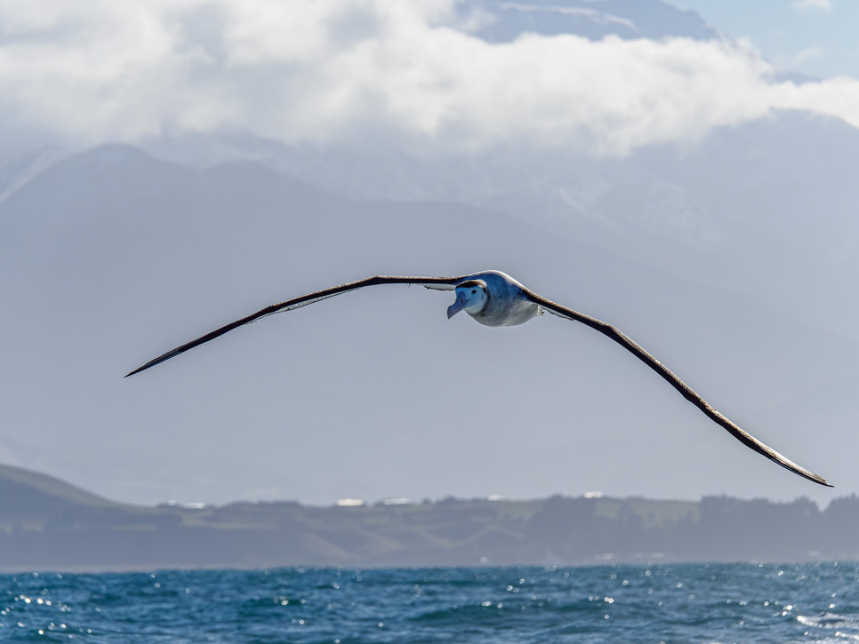 Wandering albatrosses are among the largest birds in the New Zealand marine area, surpassed only slightly by the southern royal albatross for size. Together, these are the largest of the great albatrosses, of which four species occur in New Zealand waters.  Great albatrosses have an impressive wingspan and slow gliding flight, which distinguishes them from other smaller groups (e.g. gulls and mollymawks). They are normally found offshore, but can be seen in southern New Zealand waters and northwards to Cook Strait, and in lower numbers further north.