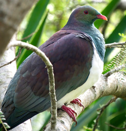 Kererū - New Zealand Wood Pidgeon