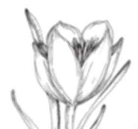 crocus bloom_edited_edited.jpg
