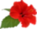 hibiscus_flower_bloom_by_hrtddy-db2l7y2.