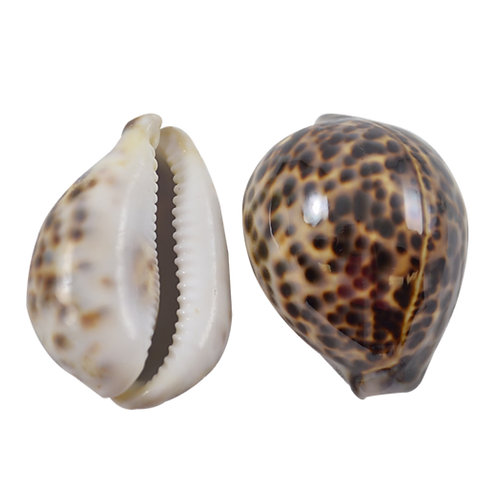 Large Tiger Cowrie Shell