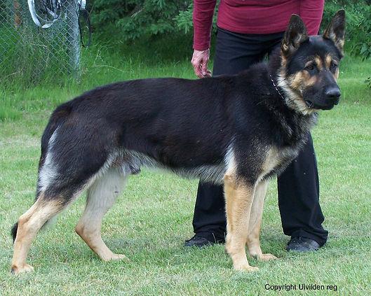 Black/tan German Shepherd
