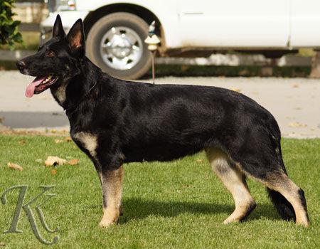 Only von Lünsholz, German shepherd