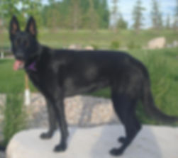 Black female German Shepherd