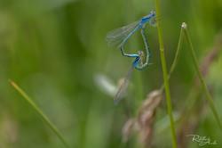 libellules bleues sur brin d'herbes  blue dragonflies on a blade of grass