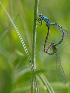 1marais villers sur mer 14 calvados normandie blue dragonfly Eastern pondhawk, Erythemis s