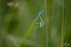 libellule photos deauville calavados 14 normandie villers sur mer Molly deams nature animaux herbe c