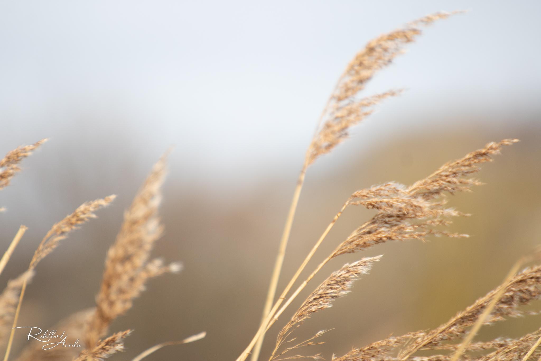 blé champs nature paysage beauté vie