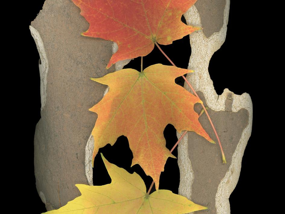 Fall Leaves and Bark