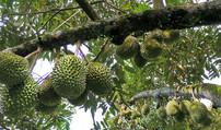 泰国农业部警告:采摘和出售未成熟榴莲违法