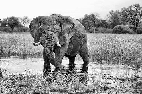 Khwai - Elephant Bull (bw) EP#003