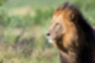 Löwen/Lions