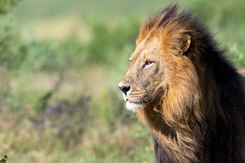 Male Lion with black mane #LW0018