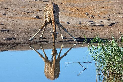 Etosha - Drinking Giraffe GF#006