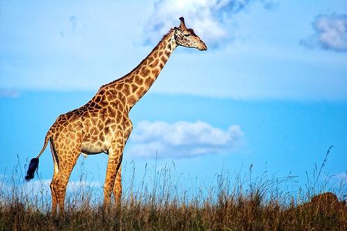 Maasai Giraffe GF#007