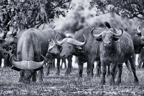 Selous - Water Buffalos (bw) #DV014