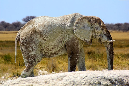 Etosha - Elephant Bull EP#009