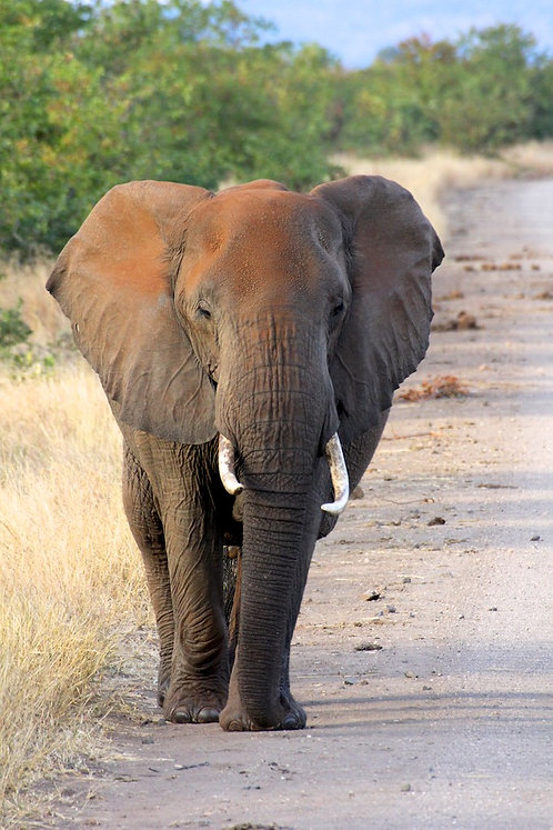 Kruger - Elephant on street EP#013