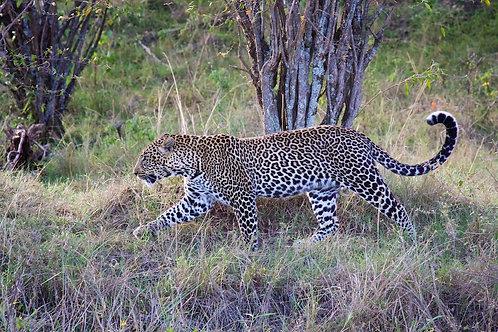 Maasai Mara- Male Leopard #LP007