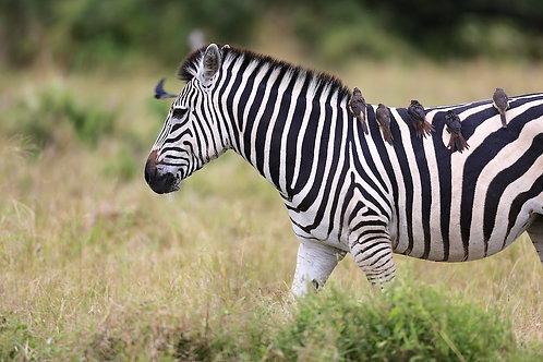 Savute - Zebra Taxi #ZB010