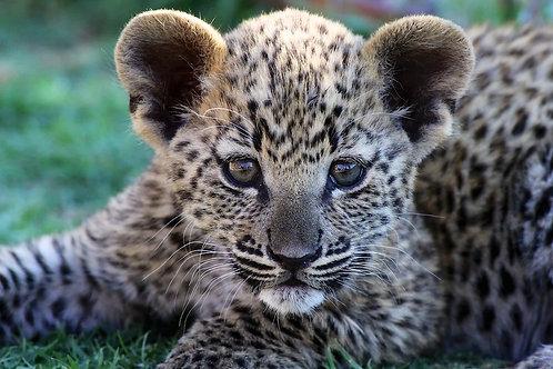 Namibia - Leopard Cub #DT032