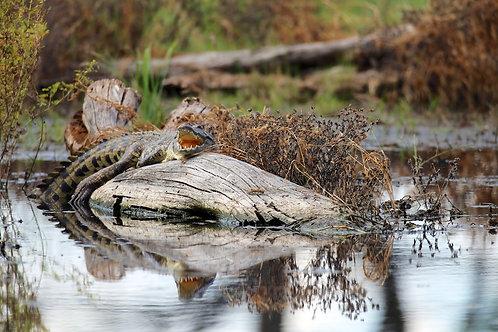 Moremi Crocodile #DV007
