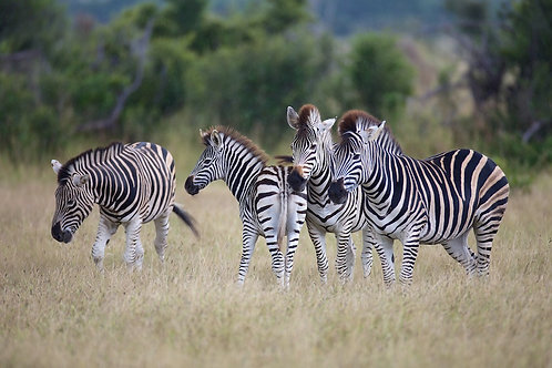 Savute - Zebras In The Rain #ZB002