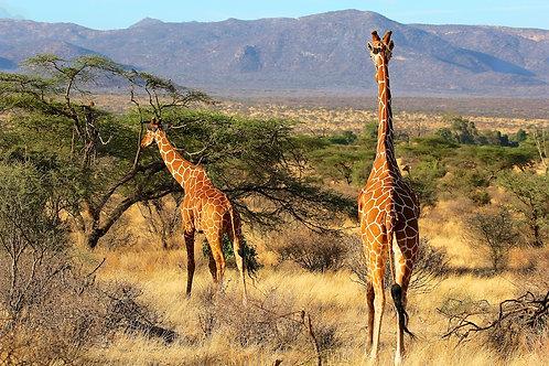 Reticulated Giraffes GF#001