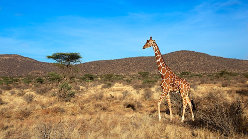 Reticulated Giraffe (16:9) GF#002