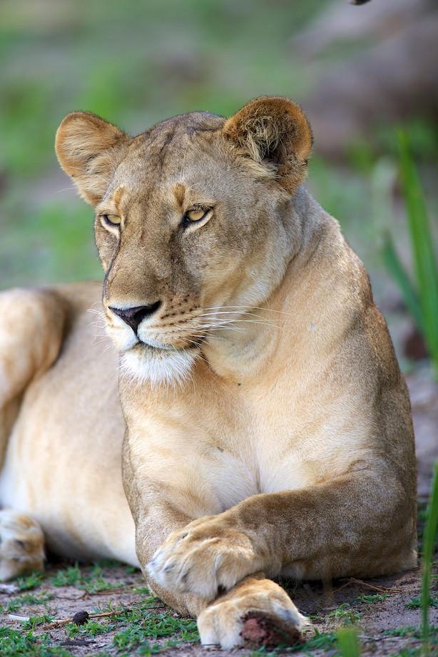 Selous: Lioness hunting a Giraffe