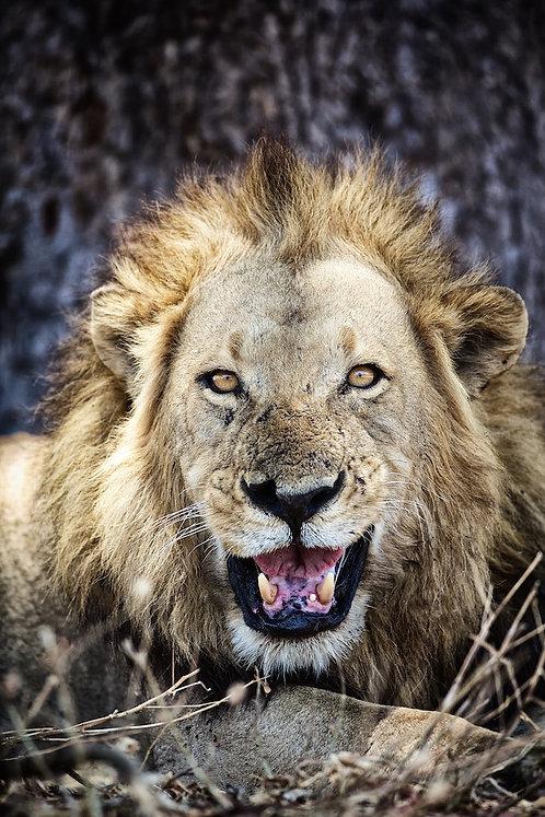 Male Lion (Katavi NP) #LW0021