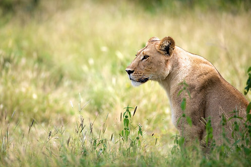 Lioness at Khwai River #LW009
