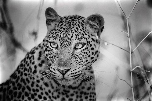 Leopard (Katavi) #LP014
