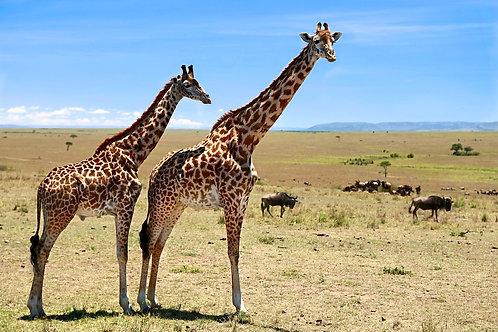 Maasai Giraffes GF#012