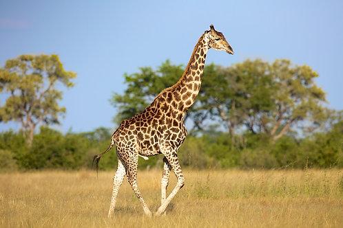 Net Giraffe GF#014