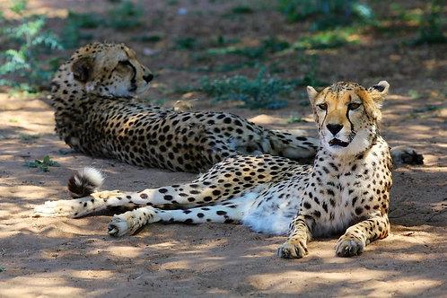 Relaxing Cheetahs #CT004