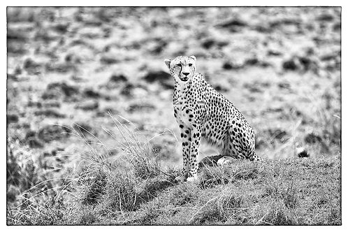 Cheetah (bw) #CT002