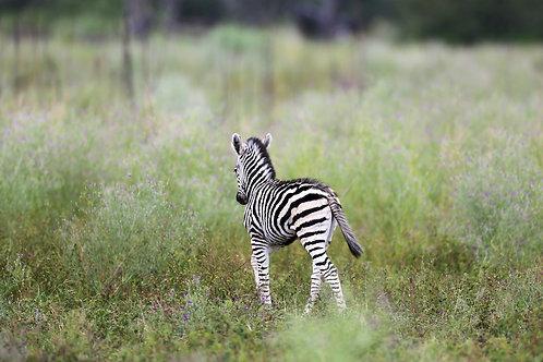 Savute - Lonely Zebra Baby #ZB001