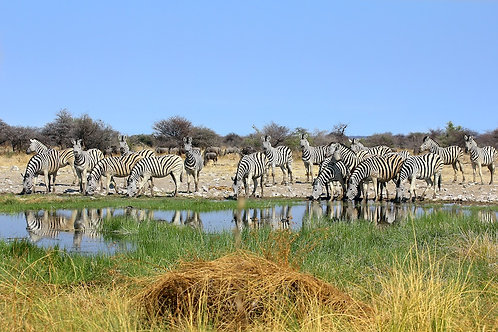 Zebras At Waterhole #ZB007