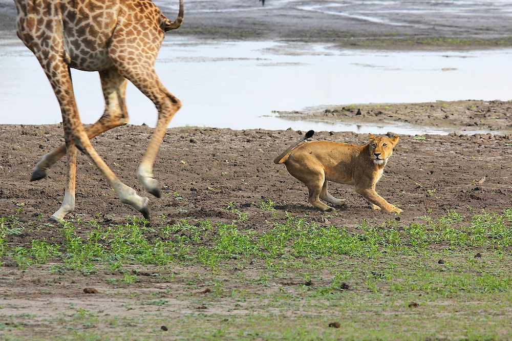 Lioness hunting a Giraffe