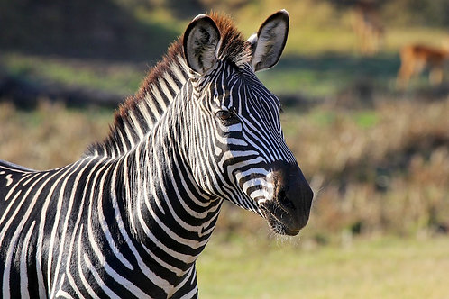 South Luangwa - Zebra #ZB009
