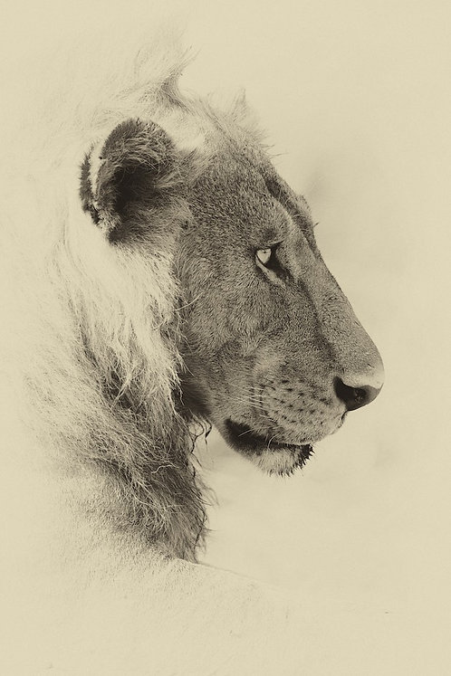 Male Lion (Katavi) #LW0025