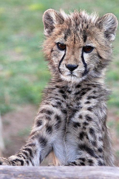 Young Cheetah #CT003
