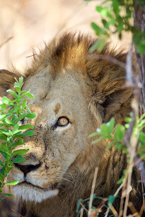 Male Lion (I see you) #LW0020