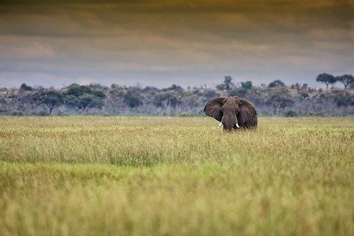 Savute - Old Elephant Bull #DT026