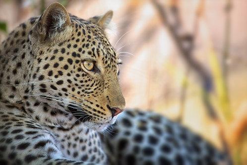 Leopard (Katavi) #LP013